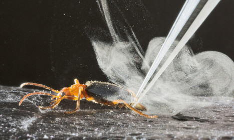 Watch this beetle aim and fire its 'machine gun' | Futurity | CALS in the News | Scoop.it
