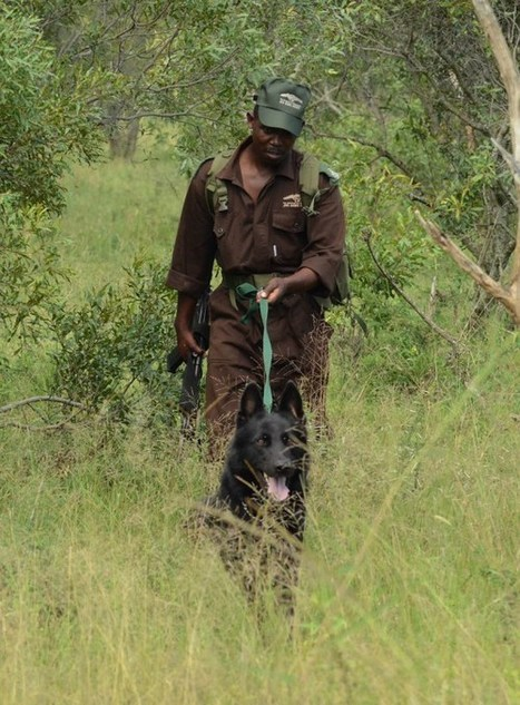 Operation: Stop Poaching Now - Rhino Dogs | What's Happening to Africa's Rhino? | Scoop.it