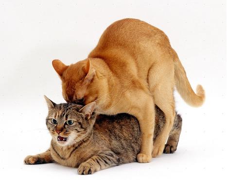 Neutering your cat | international cat care | Cats' behavior and maintenance. | Scoop.it