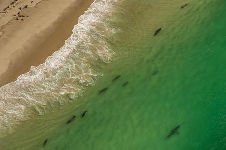 Great White Sharks Invade This Town Every Summer | Biodiversity protection | Scoop.it