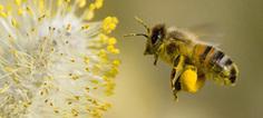 Les abeilles sacrifiées sur l'autel de l'agriculture intensive | Bio3D | Scoop.it