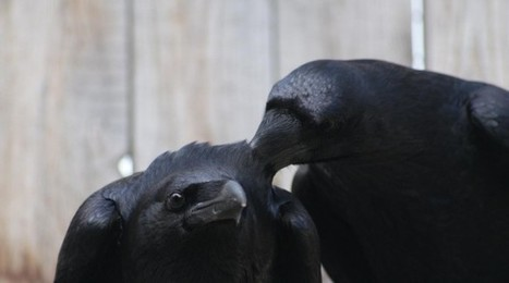Ravens Cooperate, but Not with Cheaters! - GotScience.Org | Ethics? Rules? Cheating? | Scoop.it