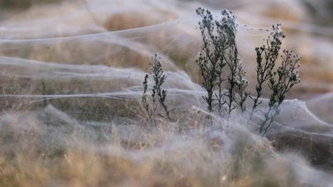 Raining spiders in Goulburn? Entirely possible, scientist says / Pluie d'araignées à Goulburn, en Australie ? Parfaitement possible, d'après les scientifiques | EntomoNews | Scoop.it