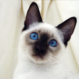 Siamese Cat | Cat Breeds Information | Scoop.it