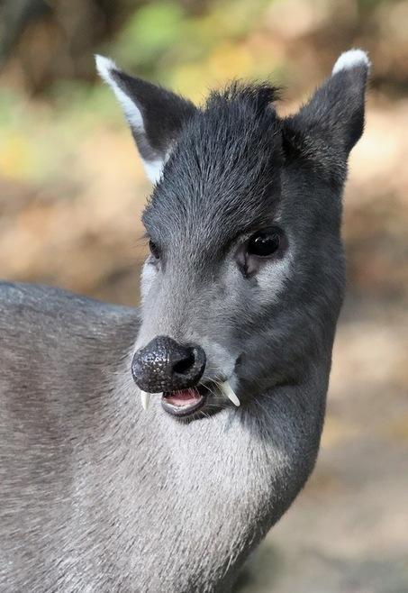 ALLPE Medio Ambiente Blog Medioambiente.org : ¿Un ciervo con colmillos? El eláfodo | Saber diario de el mundo | Scoop.it