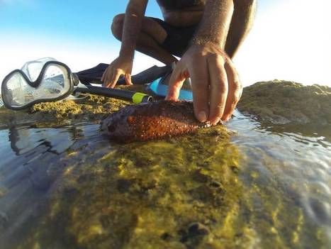 Drug dealers find a more lucrative trade: sea cucumbers | spanish news in english | Scoop.it