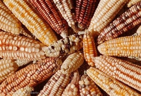 Devons nous laisser les géants des biotechnologies détruire le maïs mexicain ? | Toxique, soyons vigilant ! | Scoop.it