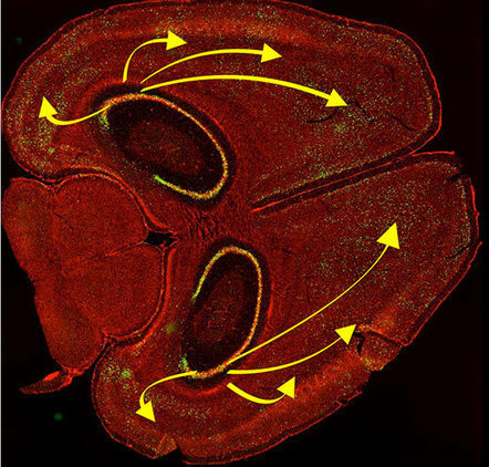 Erasing memory with light: Cortical Representations Are Reinstated by the Hippocampus during Memory Retrieval | Amazing Science | Scoop.it