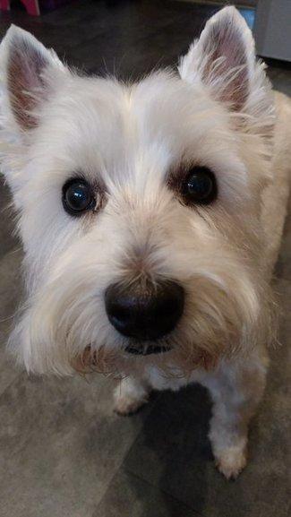 Tweet from @The_Skye_Dog | West Highland White Terrier | Scoop.it