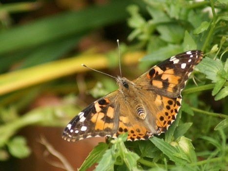 Photos de papillons : Belle dame - Vanesse des chardons - Cynthia cardui - Vanessa cardui - Painted Lady | Fauna Free Pics - Public Domain - Photos gratuites d'animaux | Scoop.it