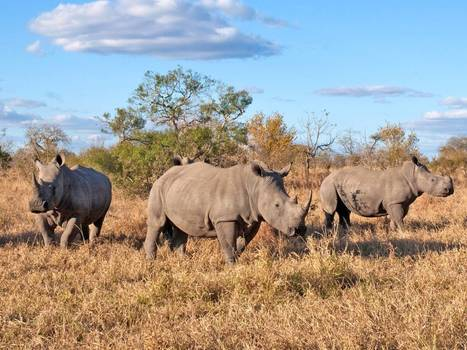 Top of the conference agenda: The last chance to save the rhino | Kruger & African Wildlife | Scoop.it