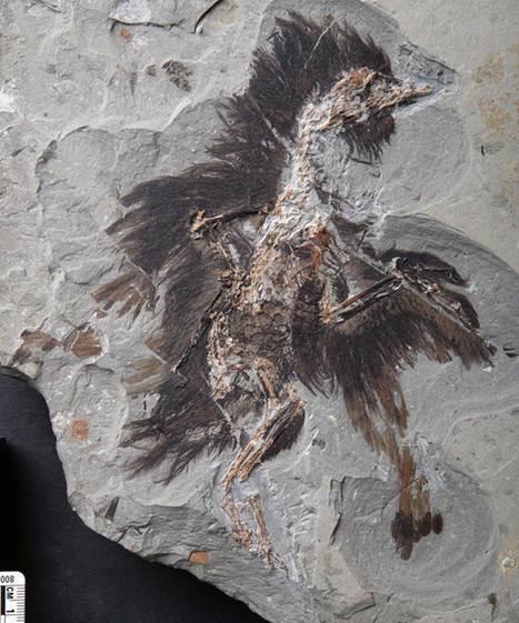An analysis of the keratin and melanosomes of a primitive bird that lived 130 million years ago | Science and technology | Scoop.it