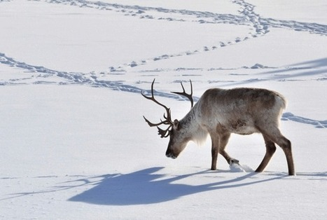 11 Things You Might Not Know About Reindeer | INTRODUCTION TO THE SOCIAL SCIENCES DIGITAL TEXTBOOK(PSYCHOLOGY-ECONOMICS-SOCIOLOGY):MIKE BUSARELLO | Scoop.it