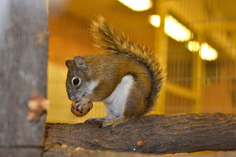 Ariz. red squirrels endangered, but breeding program could come to the rescue | Daily Journal (Franklin, IN) | CALS in the News | Scoop.it