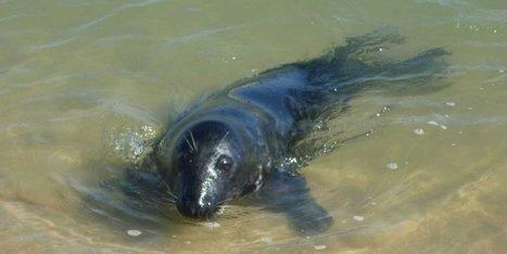 Bassin d'Arcachon : oui, le phoque You est de retour ! | Carnets de plongée | Scoop.it