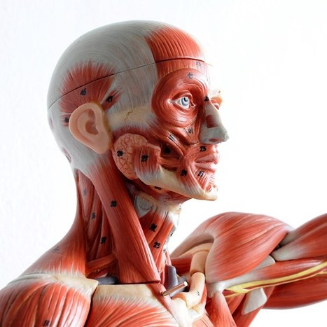 Light-activated skeletal muscle could be used to make realistic robots (Wired UK) | Muscular system | Scoop.it