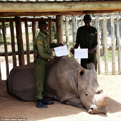 Last surviving male northern white rhino is now under 24-hour guard | Genetic engineering and Human genetics, background reading and resources for IB | Scoop.it