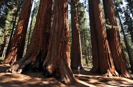 World's Oldest Trees Dying At Alarming Rate | Sustainable Futures | Scoop.it