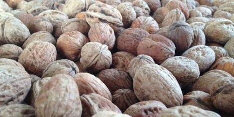 La récolte de noix de Grenoble attendue en forte hausse cette année - France 3 Alpes | Noix, noisettes, châtaignes | Scoop.it
