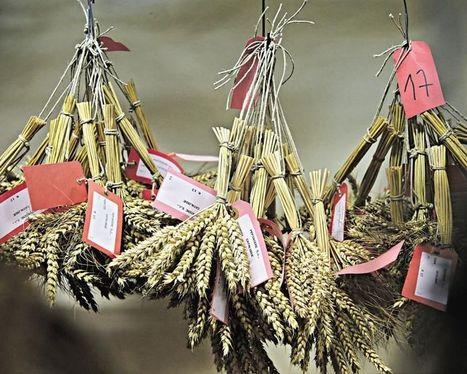 Le blé fait le bio | Chimie verte et agroécologie | Scoop.it