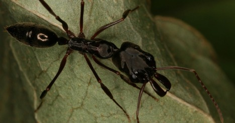 Aggressive Trap-Jaw Ants From South America Invade Gulf Coast | All About Ants | Scoop.it