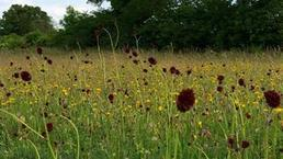 Decline of 97% #wildflower meadows in the #UK | Messenger for mother Earth | Scoop.it