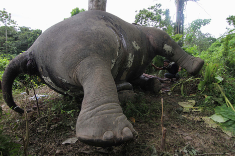 Can You Use Big Data to Track an Elephant Poacher? | Wildlife Trafficking: Who Does it? Allows it? | Scoop.it