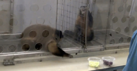 2 Monkeys Were Paid Unequally; See What Happens Next | Scott's Linkorama | Scoop.it