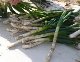 Ciboule (Cive) | planter des bulbes | Scoop.it