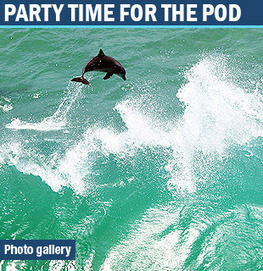 Byron hosts massive dolphin pods Local Gold Coast News | goldcoast.com.au | Gold Coast, Queensland, Australia | Dolphins | Scoop.it