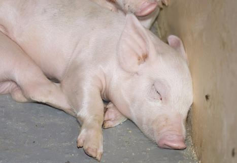 Le prix du porc s'écroule plus tôt que prévu | La Terre de Chez Nous | Grain du Coteau : News ( corn maize ethanol DDG soybean soymeal wheat livestock beef pigs canadian dollar) | Scoop.it