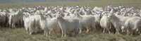 Goat genome sequence by optical mapping | Plant Genetics, NGS and Bioinformatics | Scoop.it