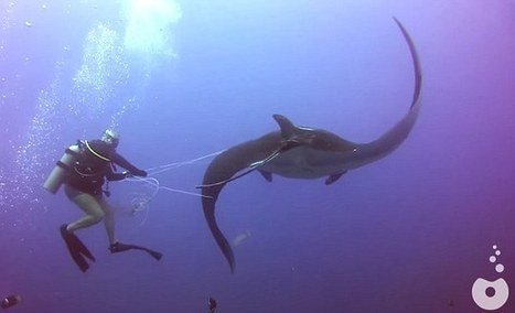 Help! Manta ray asks divers to free it from fishing line! #scuba | Scuba Diving | Scoop.it