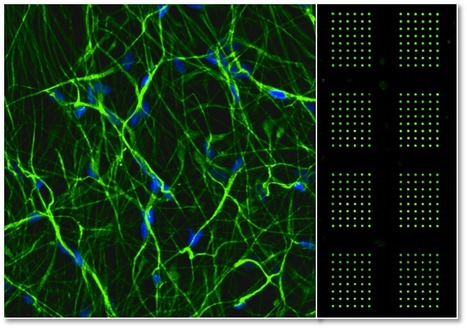 3D Microarray Platform for Toxicology Assays in Neural Development | Stem-Cells | Scoop.it