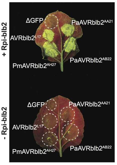 Mol Plant Microbe Interact: A recent expansion of the RXLR effector gene Avrblb2 is maintained in global populations of Phytophthora infestans indicating different contributions to virulence (2015) | Publications from The Sainsbury Laboratory | Scoop.it