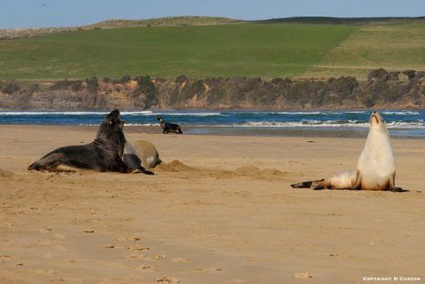 Exploring Seal and Sea Lion Populations in New Zealand | All about water, the oceans, environmental issues | Scoop.it