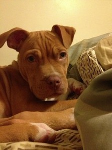 Reward offered for puppy who was stolen on Christmas Eve | Nature Animals humankind | Scoop.it