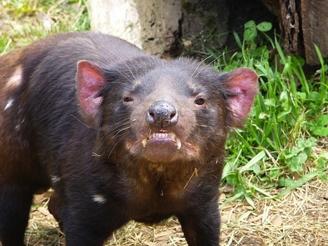 Aggressive Tasmanian Devils May Need to Chill Out to Survive   Devil Facial Tumour Disease   Scoop.it