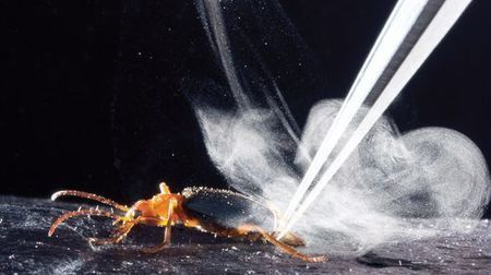 Secrets of Bombardier beetle's superheated defensive spray revealed | Gizmag (Blog) | CALS in the News | Scoop.it