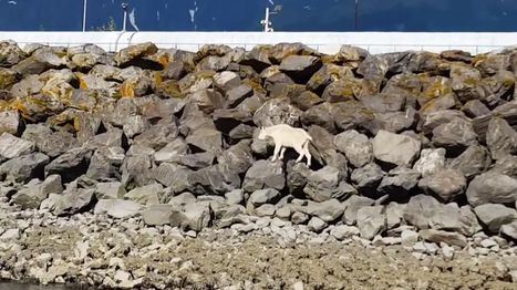 Alaskan Mountain Goat Dies Fleeing People Who Wanted to Take Its Picture | Archaeology, Culture, Religion and Spirituality | Scoop.it