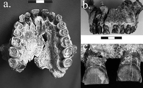 Two-Million-Year-Old Jaw Has a Lot to Say About the Origins of Human Handedness | SoRo anthropology | Scoop.it