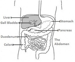 Ezra Protocol cures a fatty liver | fatty liver health | Scoop.it