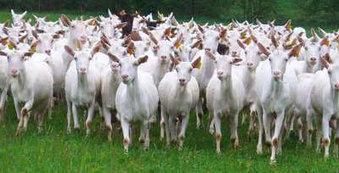 La filière caprine peine à sortir d'une crise de 2009 à 2012 | Agriculture d'Ille-et-Vilaine | Scoop.it
