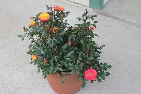 The Transplanted Gardener | Rose gardening for everyone | Scoop.it