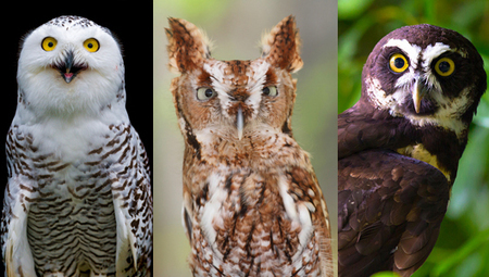 18 owl species with irresistible faces | Green Art Cafe | Scoop.it