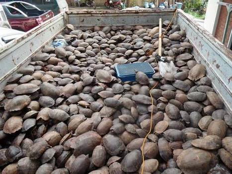 Thousands of Critically Endangered Palawan Forest Turtles seized | Wildlife Trafficking: Who Does it? Allows it? | Scoop.it