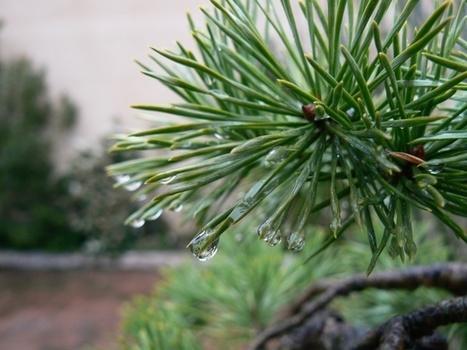 Protéger les pins de la pluie | Bonsai365 | BONSAI365 | Scoop.it