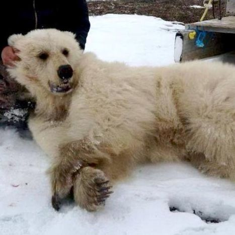 Climate change could be behind grizzly-polar bear hybrid: scientists | Year 12 Geography | Scoop.it