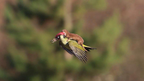 Here's a photo of a weasel riding a woodpecker | Prozac Moments | Scoop.it
