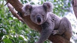 Le koala menacé | Bienvenue sur le blog de Claire Jannot ! | Ecologie et protection animale | Scoop.it